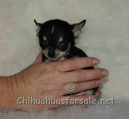 Zeke Tiny Little Black And Tan Smooth Coat Boy He Is Going To Nj With Images Chihuahua Puppies For Sale Puppies Puppy Pictures