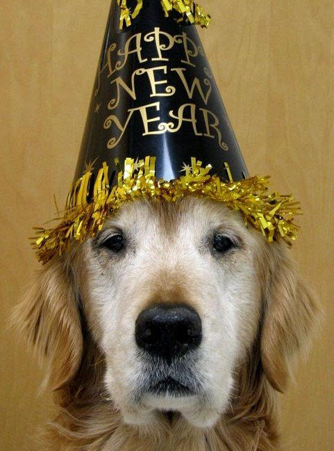 Sweet Senior Golden Retriever Celebrating The New Year What A Kind