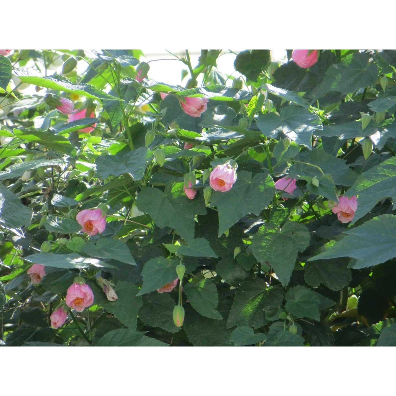 Abutilon Hybridum Pink Shrubs Plant Type Boething Treeland