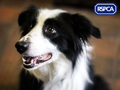 Ella Border Collie 5 Years Rspca Derby And District Branch
