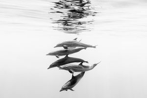 Christian Vizl - Wild dolphins