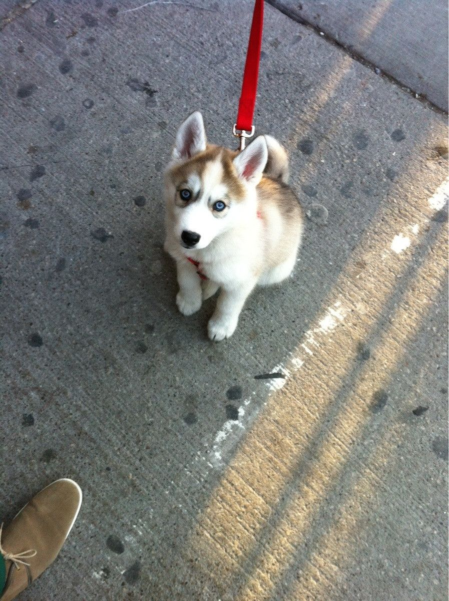 Saw This Beauty In Toronto She S Only 9 Weeks Old Cute