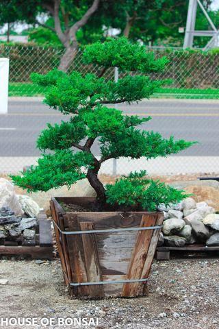 Japanese Black Pine Garden Bonsai Tree 15 Gallon Pot Bonsai Garden Asian Garden Bonsai