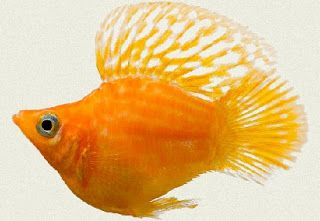 Ikan Hias Kecil Air Tawar