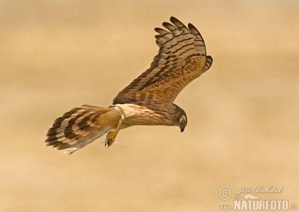Motak Luzni Circus Pygargus Harrier Birds Of Prey Pictures