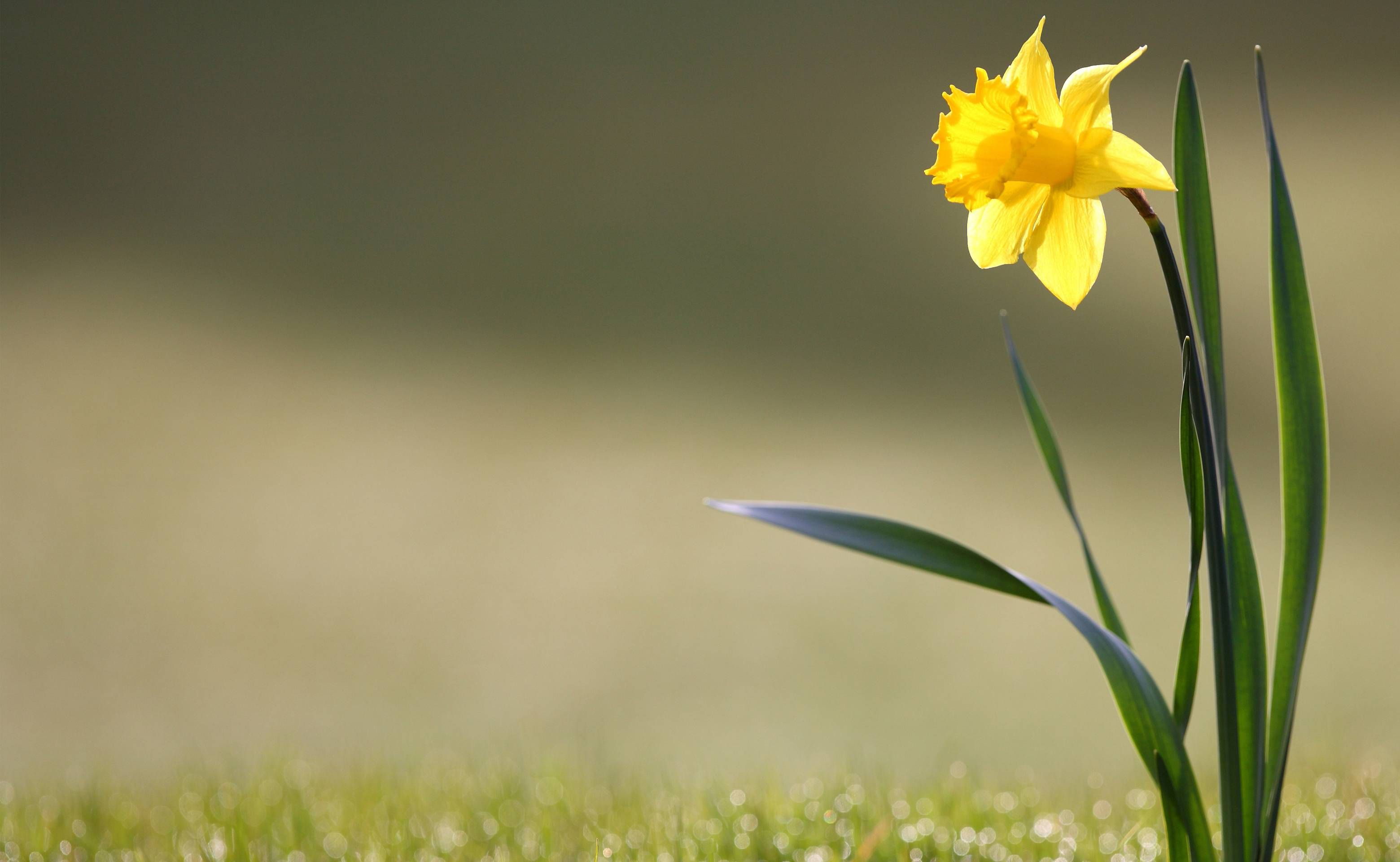Daffodil Wallpapers Wallpaper Cave (With images