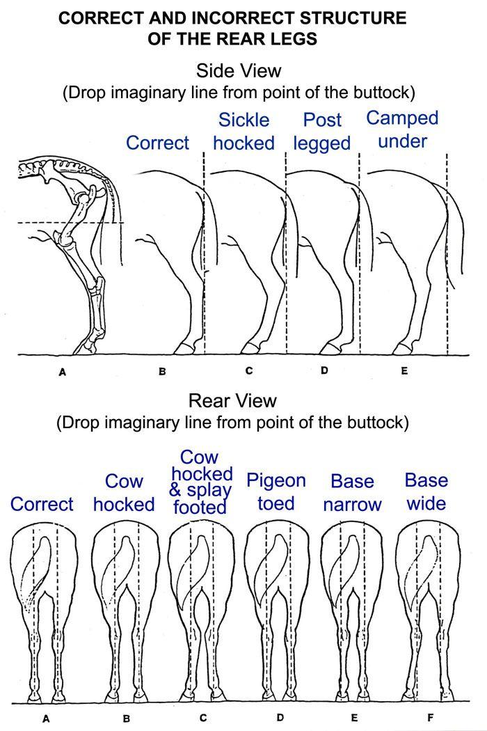 Horse Back Leg Diagram Horse Hoof Diagram - Wiring Diagram Database