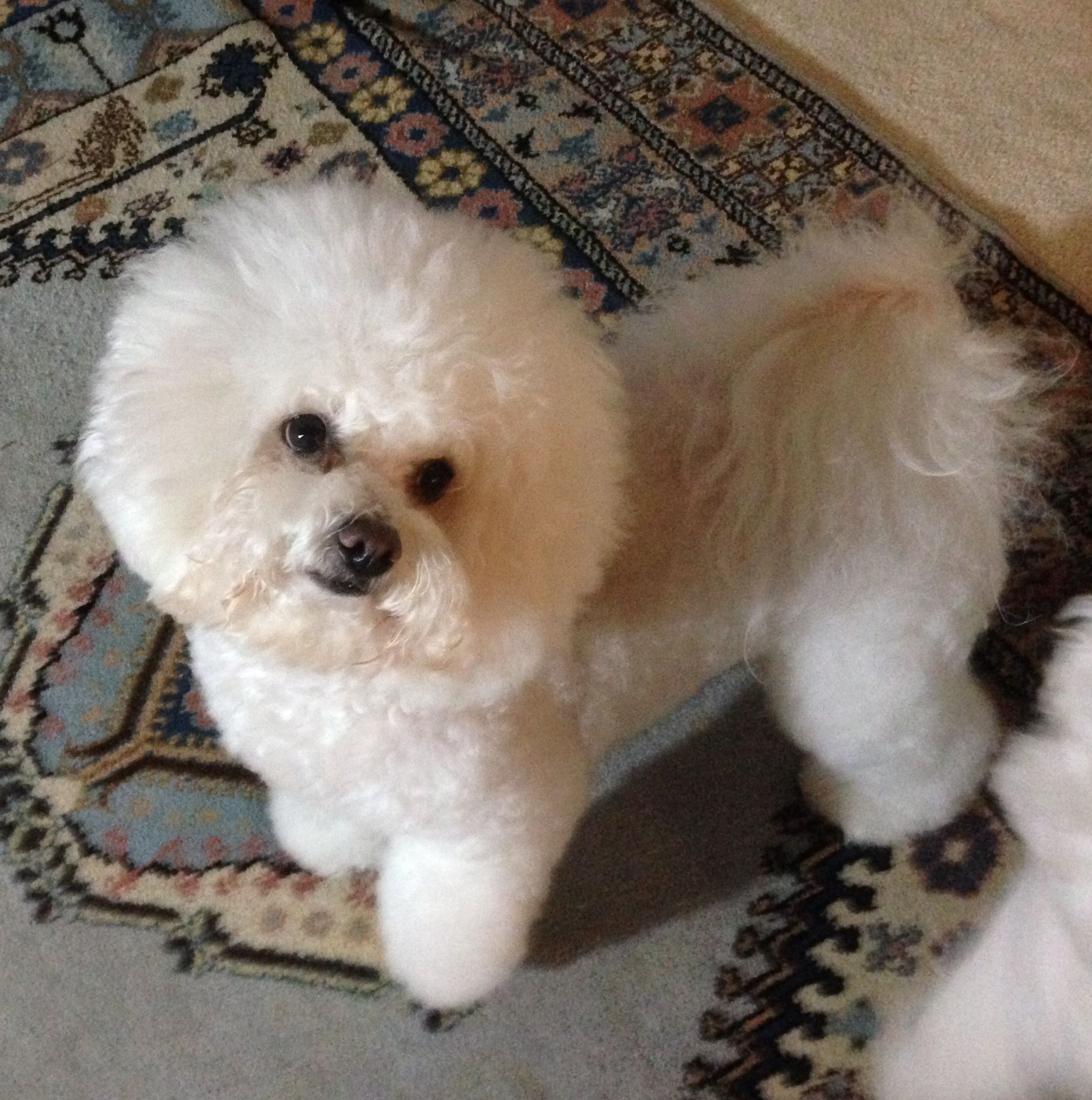 Pin by Margaret Wilson on My Bichons 2015 Bichon frise