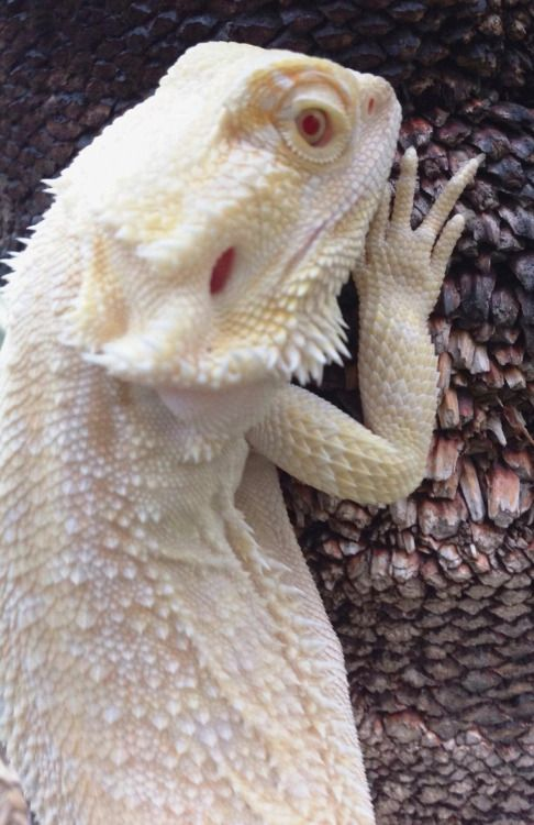 Adult bearded dragons for sale