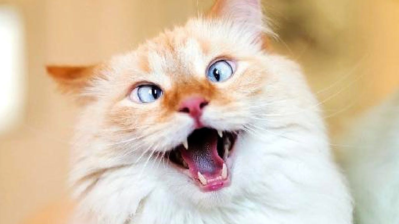 CATS MEOWING & PLAYING FUNNY CAT VIDEOS (With images