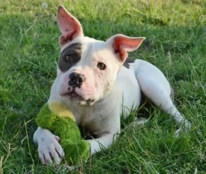 Adopt Dora Justice On With Images Pitbull Puppies Cute Little Animals Dog Park