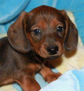 I Want Another Puppy Dachshund Puppies Dachshund Breeders Dachshund