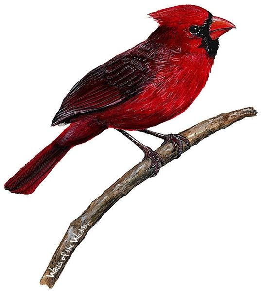 Cardinal Wall Decal Bird Wall Decals Removable Wall Decals Cardinal Birds Bird Wall Decals Wall Stickers Birds