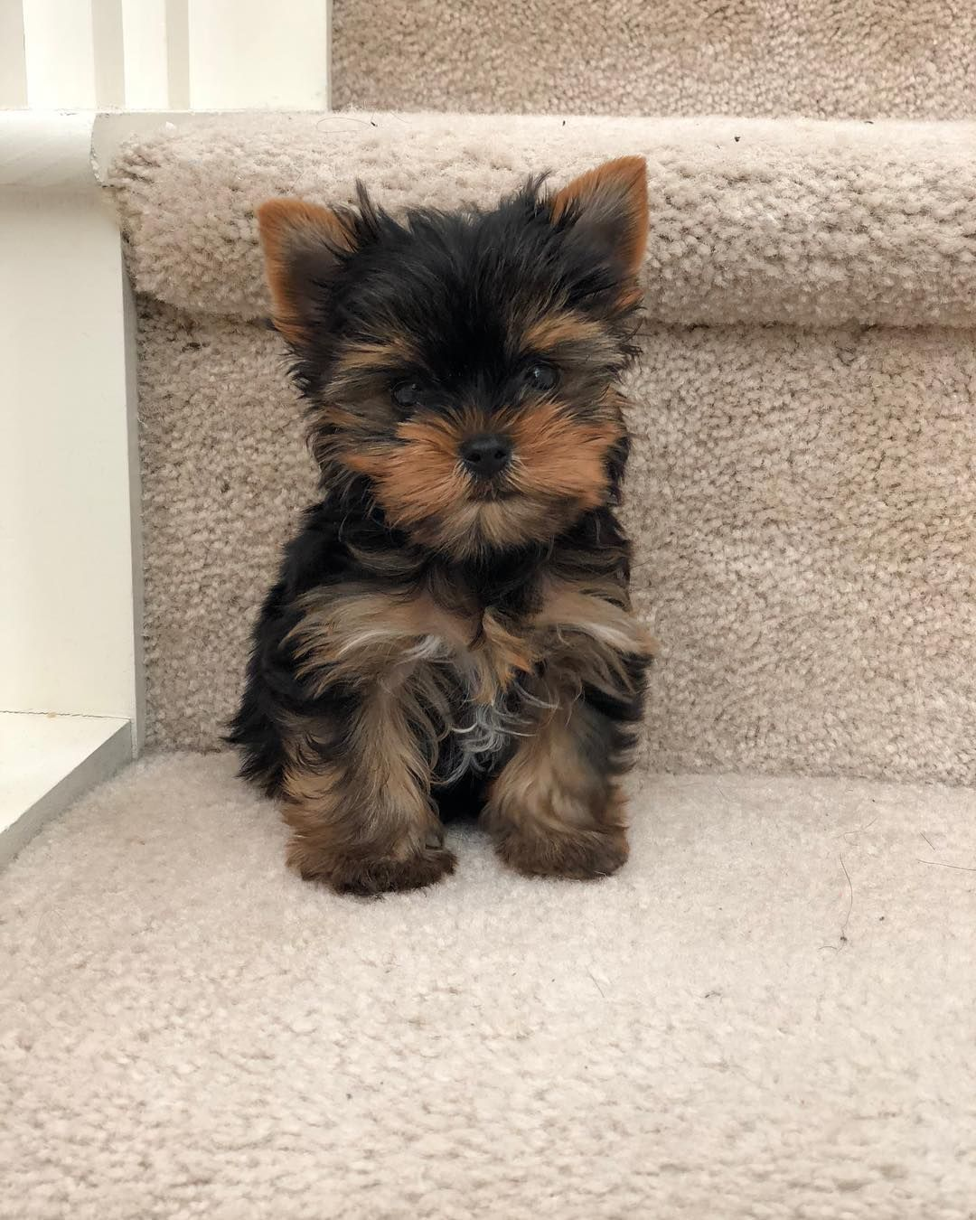 Follow Ninacapone For More Yorkie Puppy Teacup Yorkie Puppy