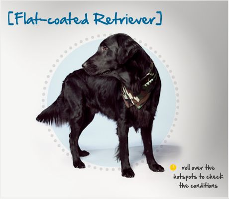 Did you know the Flat Coated Retriever is a cross breed of