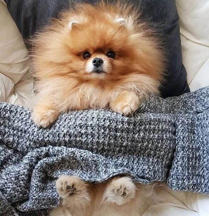 Pomeranian Puppy Uglies Cute animals, Puppies