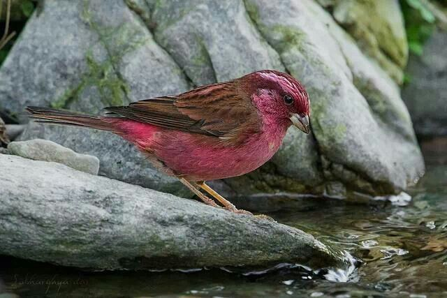 Pink - Brower Rose finch