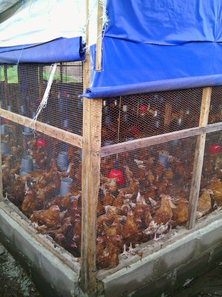 A 1000 Layers Poultry Farm Poultry Farm Design Poultry Farm Chickens Backyard