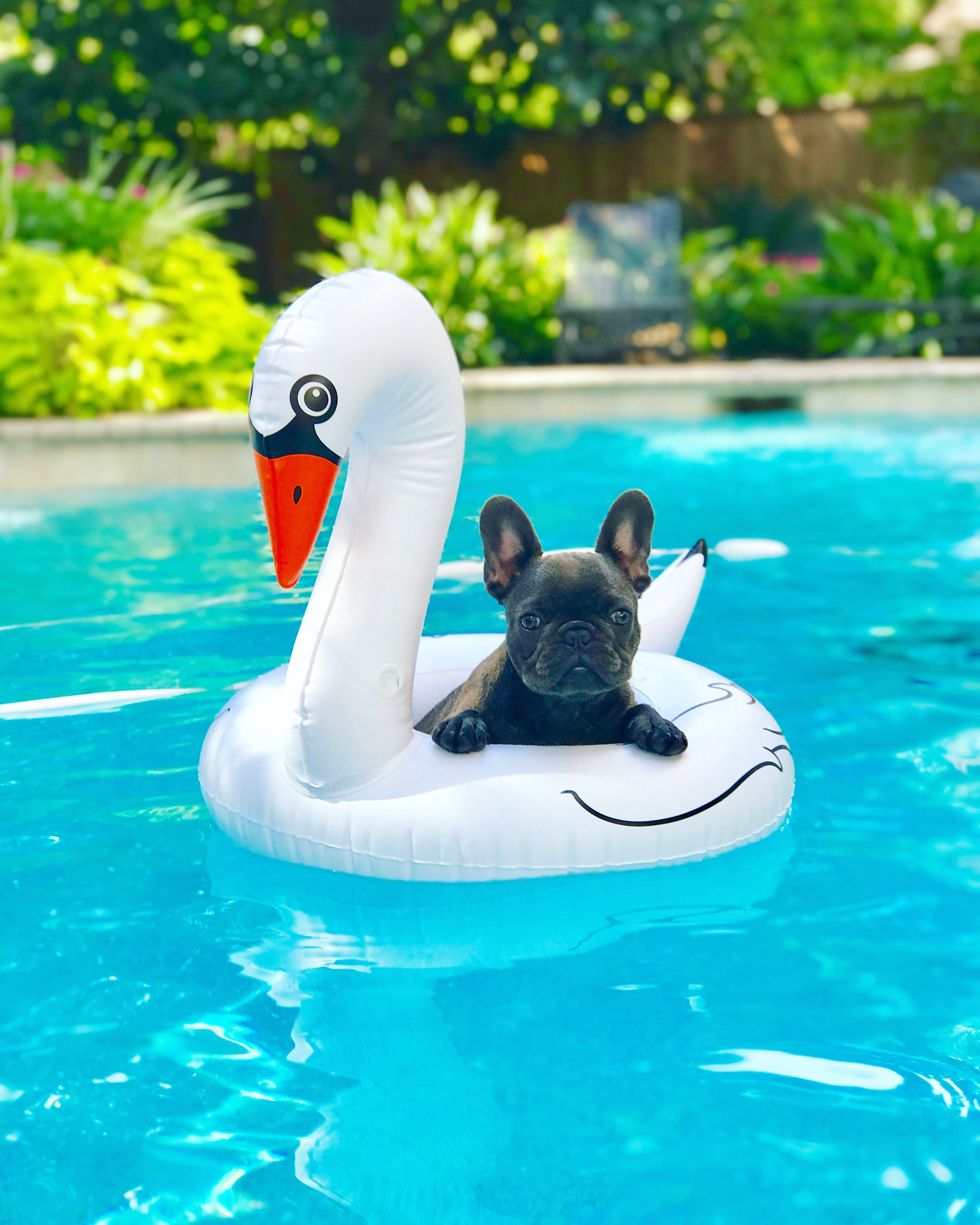 Poolside with frenchiequilla on Instagram frenchie