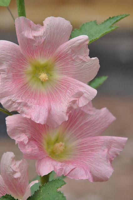 My favorite flower brings back lots of memories gardening beautiful flowers garden mightylinksfo Images