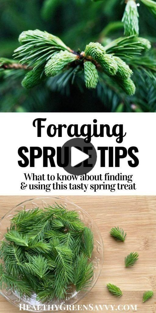 Fichtenspitzen sind ein weniger bekanntes Futter, das Sie im Frühjahr leicht finden können. Hier