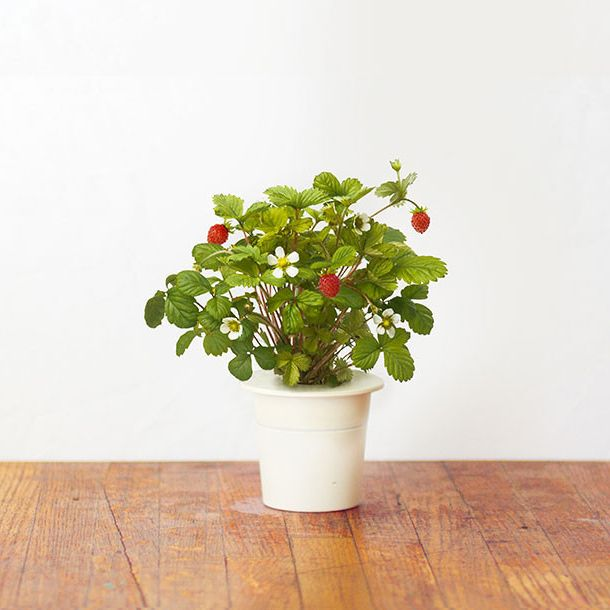 How to grow strawberries in a small space. With this Wild Strawberry ...