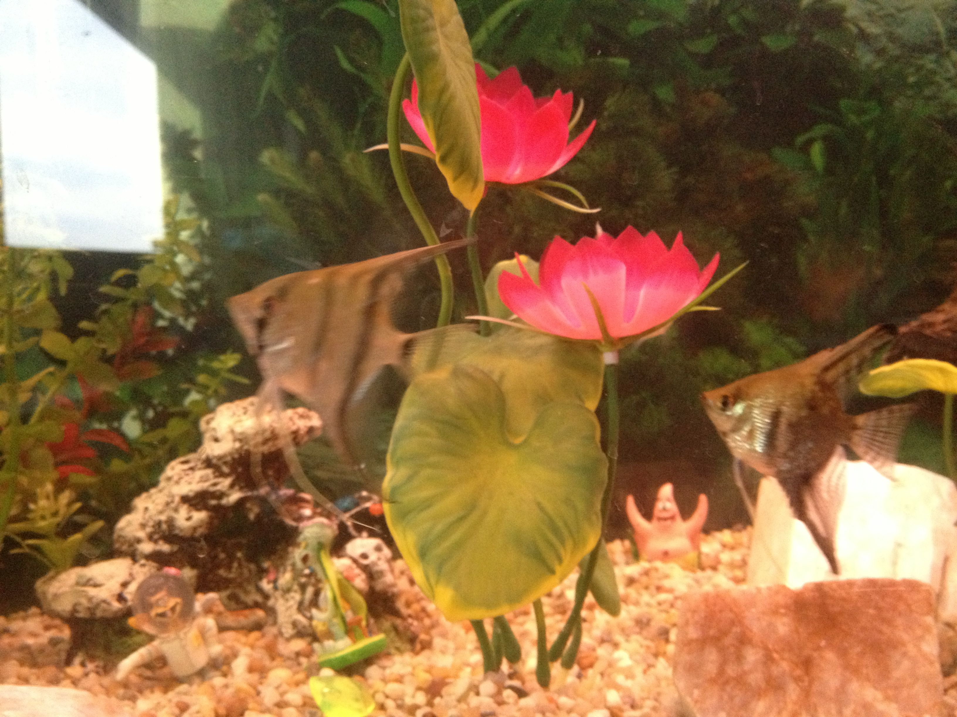 Angel fish - we call them alpha and omega they stick together allot.