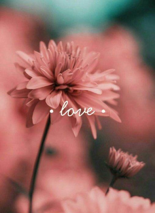 Fondo de pantalla de celular que tiene una flor color rosa con la palabra love escrita
