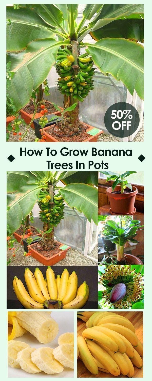 Emergency Preparedness Banana Plants Dwarf Fruit Trees 640 x 480