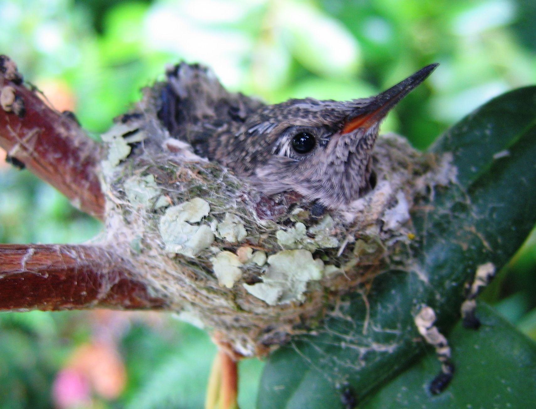 Baby Hummingbirds | Baby Bee Hummingbird | HUMMINGBIRDS ...