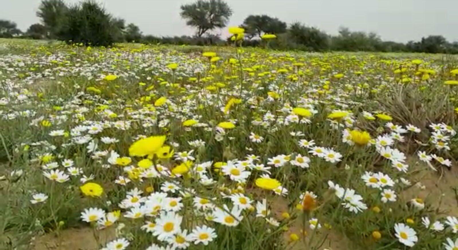 ورود الأقحوان وزهور البابونج تزين روضة التنهات Outdoor Plants Site