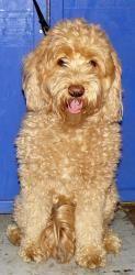 Golden Doodle Female Is An Adoptable Golden Retriever Dog In