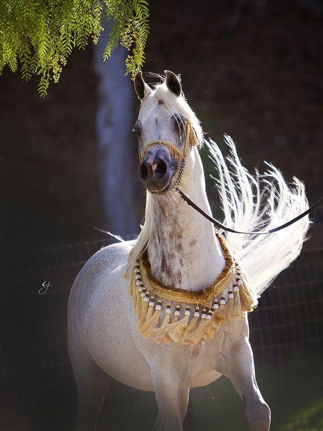 Horse خيل Horses Beautiful Arabian Horses Arabian Horse