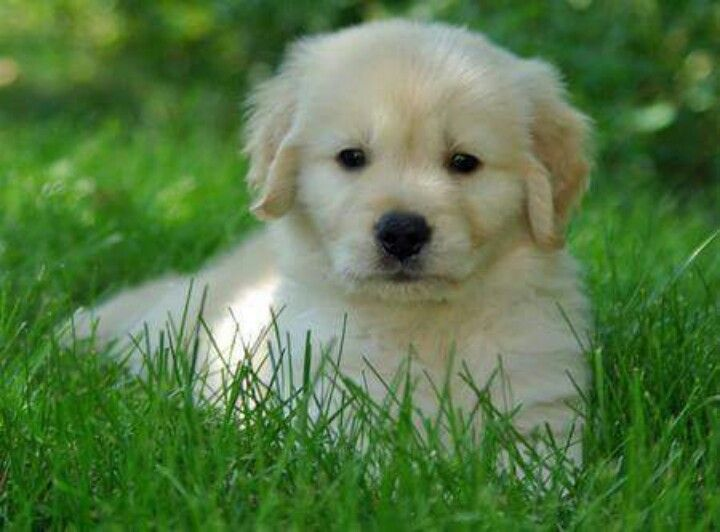 Pin By Milica Vukovic On Nice V Cuddly Animals Golden Retriever Puppies