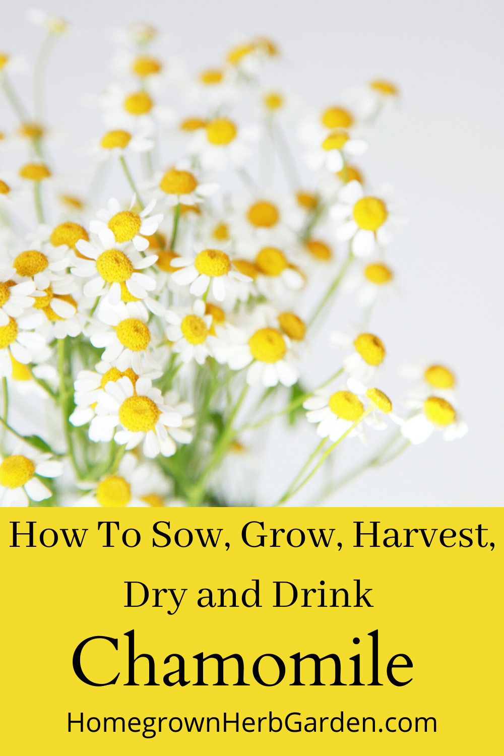 Chamomile Everything You Need To Know Chamomile Growing Chamomile Plant Chamomile Seeds