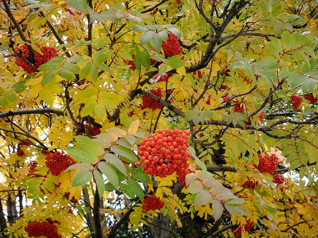 Mountain Ash Berry Clusters Mountain Ash Tree Autumn Leaf Color