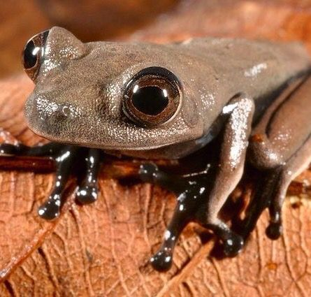 Newly discovered species - the Cocoa frog (Hemigrammus aff. Ocellifer)