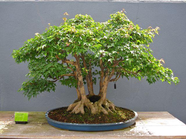 Trident maple Clump Style | Bonsai tree types, Bonsai styles