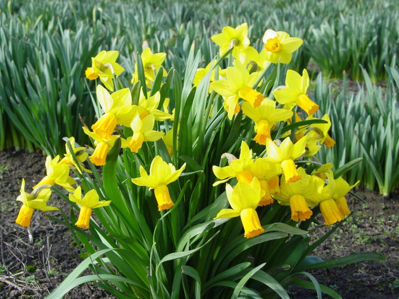 Trumpet Narcissus Standard Value