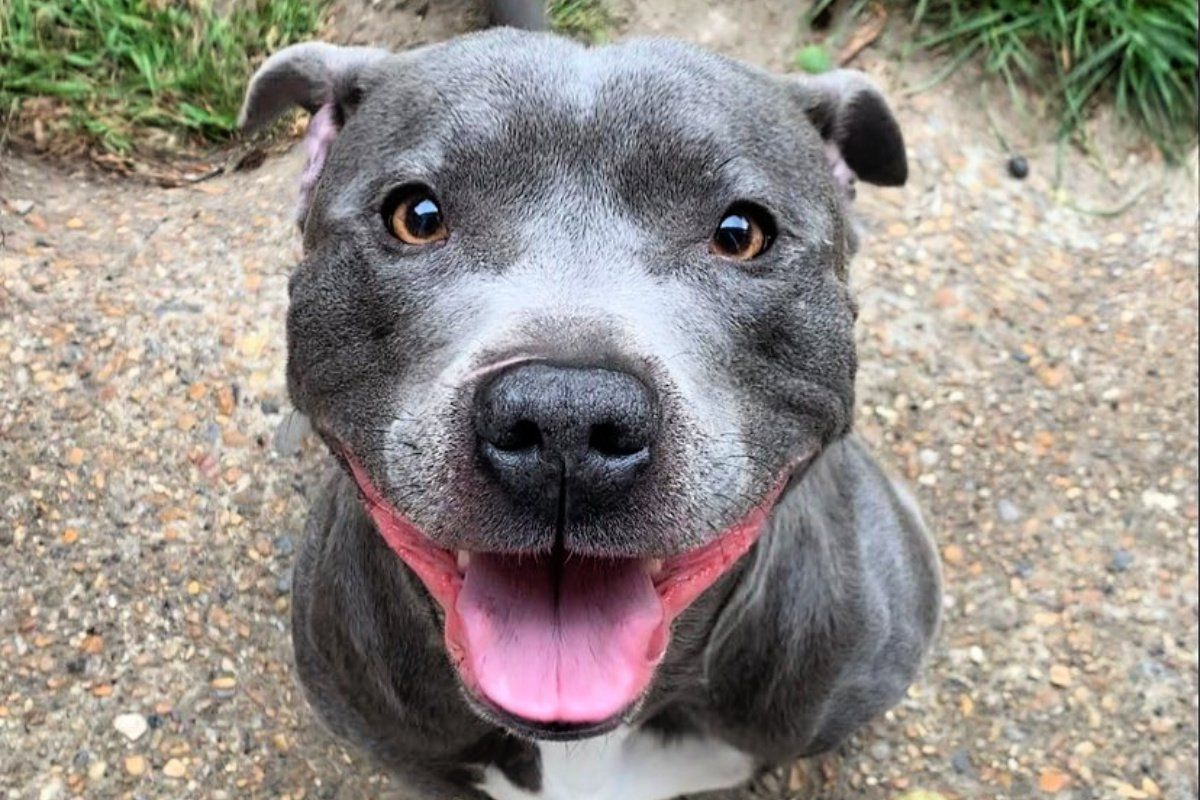 14 Staffy Instagram Accounts You Ll Love If You Re A Proud Staffy Parent Staffy Dog Staffy Pups Staffy Bull Terrier