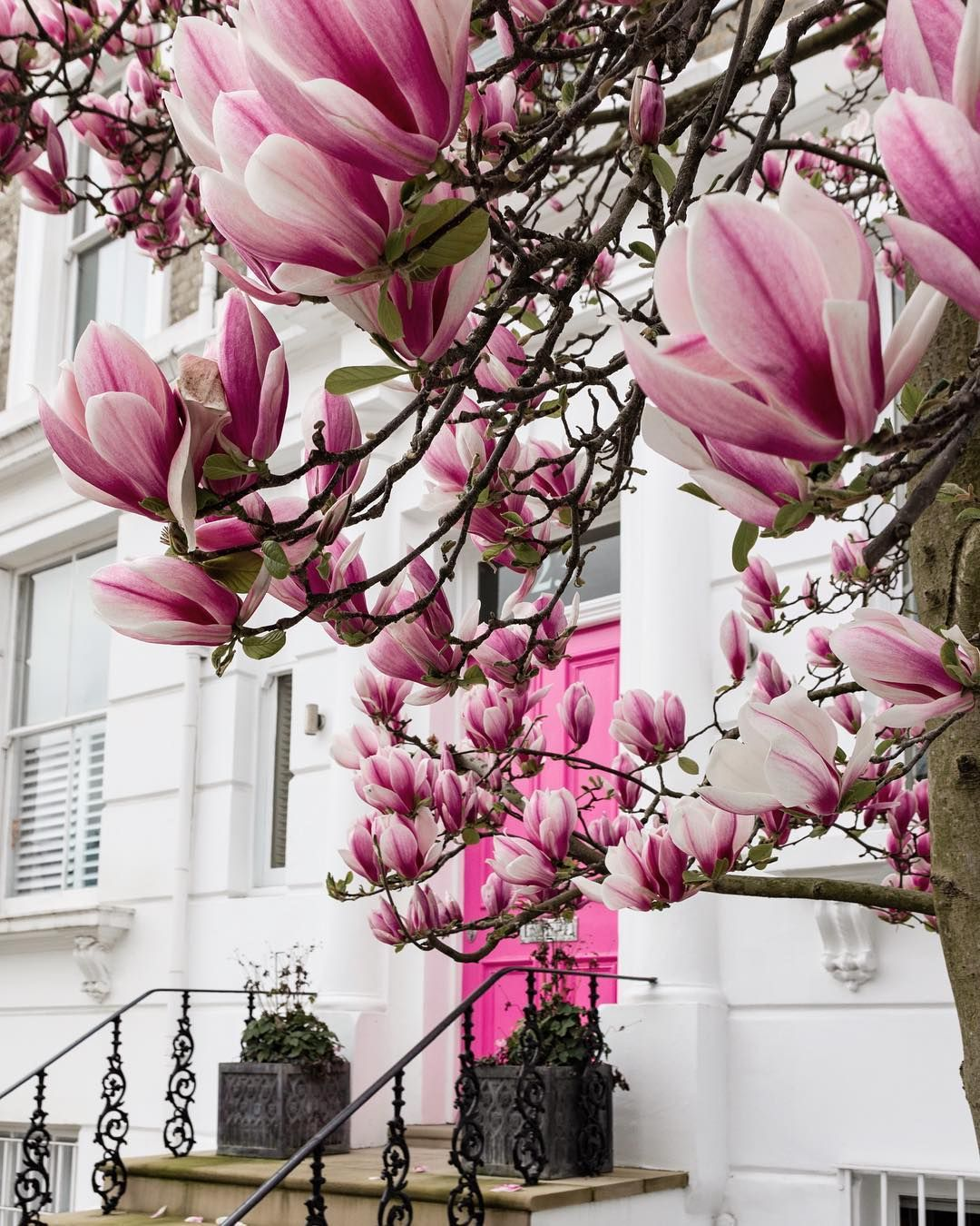 Magnolia Blooms Holland Park London England By Michael Sparrow Sparrowinlondon On Instagram Flowering Trees Late Bloomer Instagram