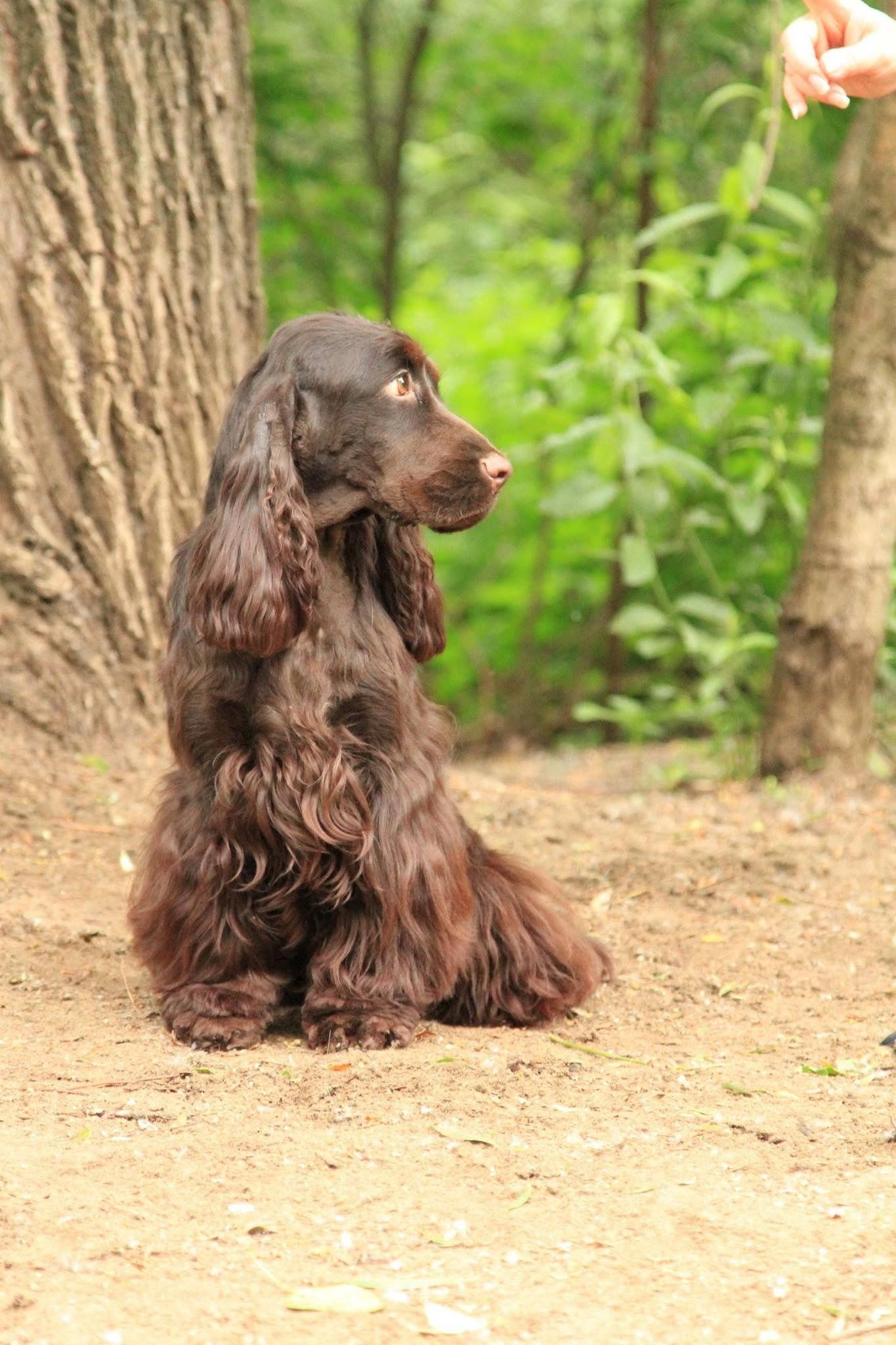 See Our Website For More Info On Spaniels It Is A Great Place To Find Out More Spaniel Puppies Dangerous Dogs Spaniel Breeds