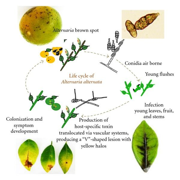 Life Cycle Of Alternaria Alternata The Causal Agent Of