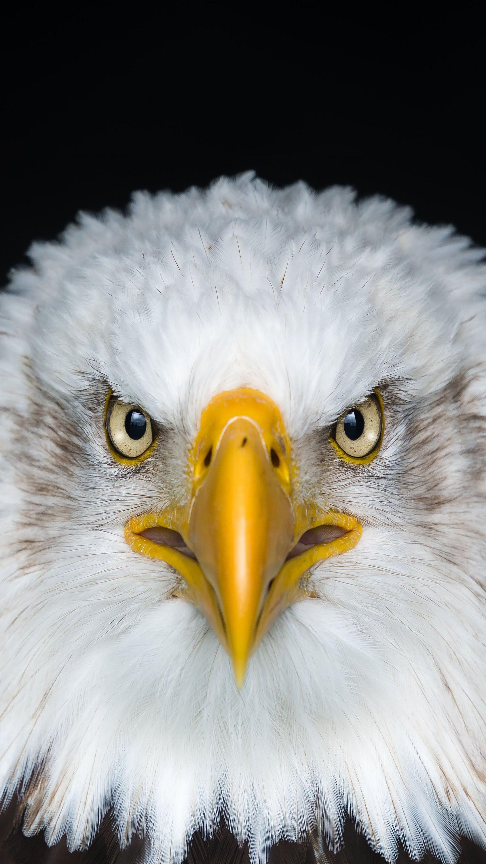 Image By Nixon Ruiz Belogolovyj Orlan Eagle images hd wallpaper download