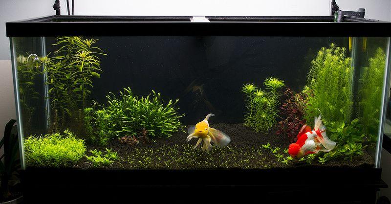 75 Gallon Planted Oranda Tank Goldfish Tank Goldfish Aquarium Cool Fish Tanks