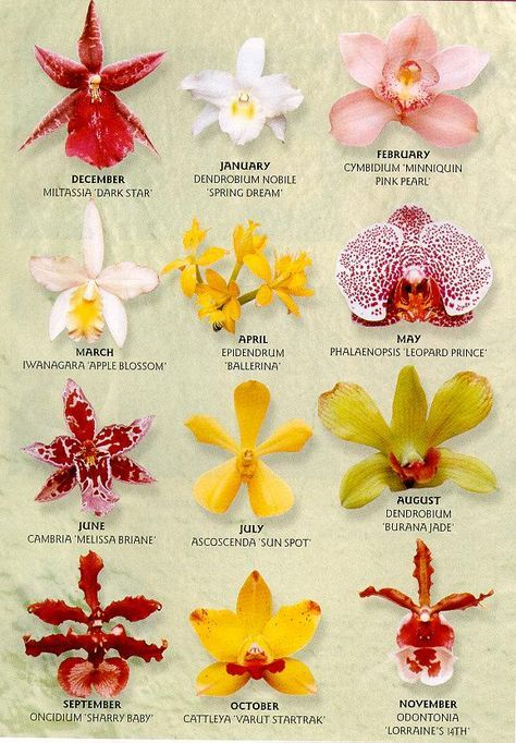 Phalaenopsis orchids, made petal by petal, with gumpaste, trying to ...