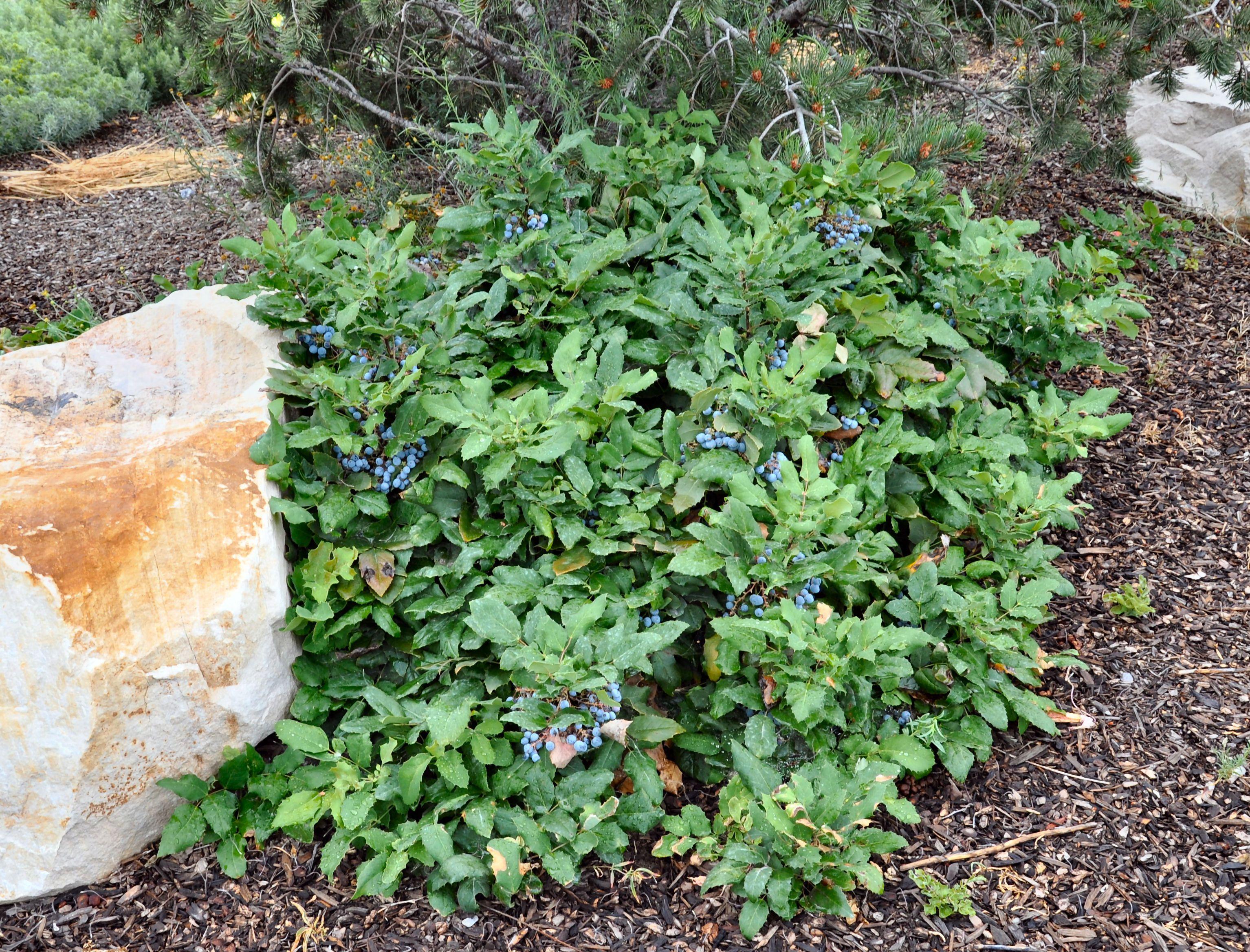 Mahonia Aquifolium Compacta Dwarf Oregon Grape Zone 5 H 5 7ft S