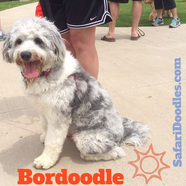 Bordoodle Puppies We Bred F1b F1 Litters Of Petitie Mini And