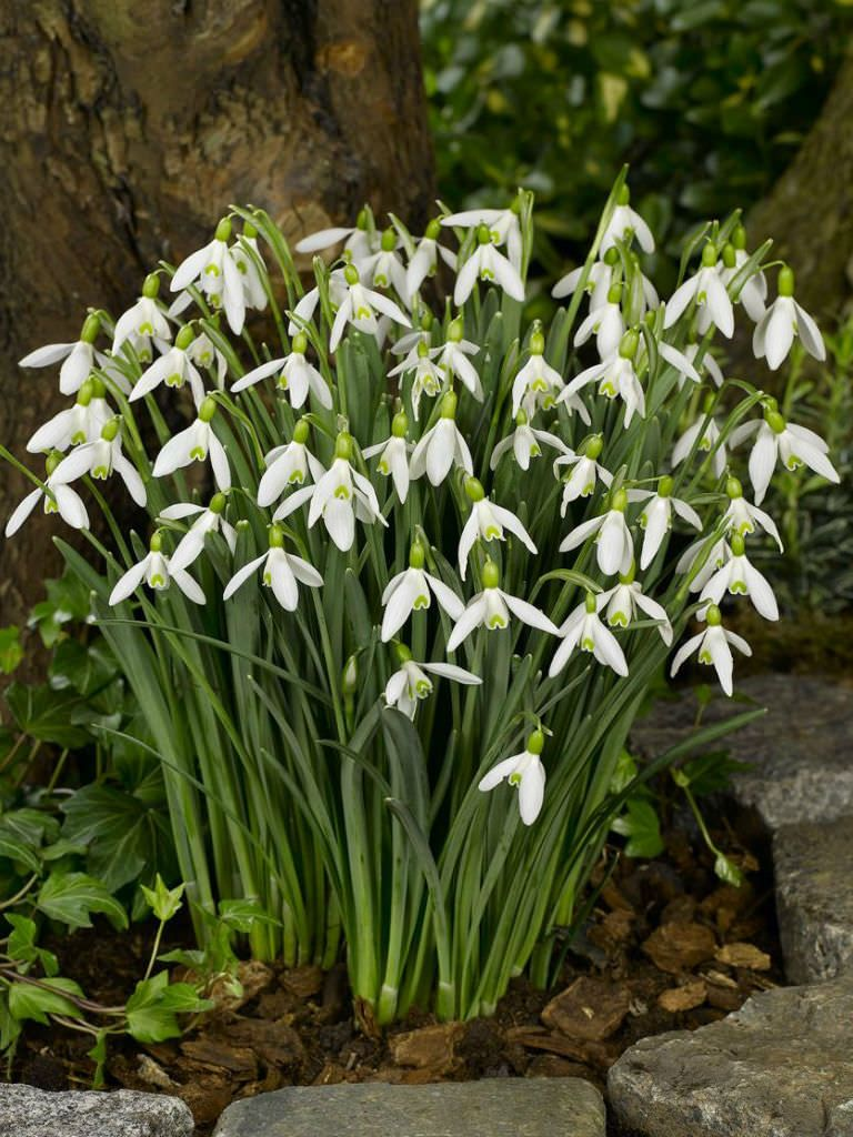 Galanthus Elwesii Greater Snowdrop Holiday Imbolc Brigids Day