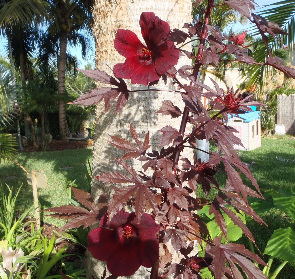 Dark Purple Hibiscus Plant With Purple Leaves Doughertys Garden